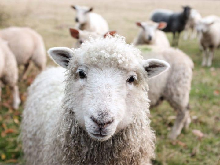 Herding Sheep in Regards to Writing